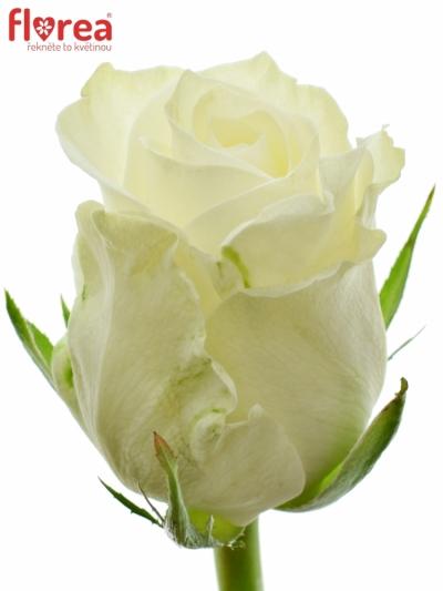 Bílá růže ALPE D´HUEZ 50cm (M)