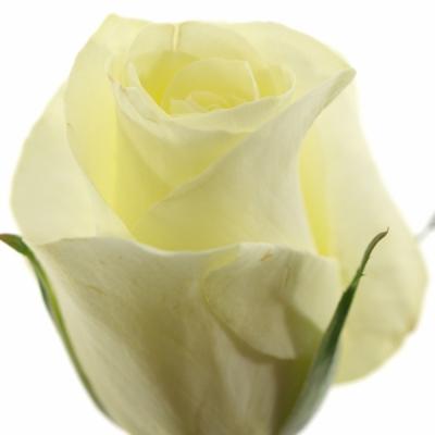 Bílá růže ANDALUSIA