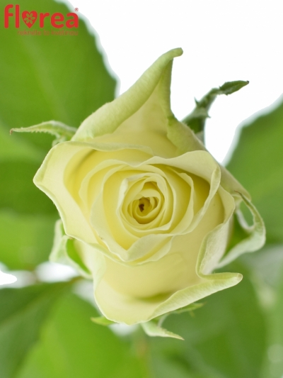 ROSA ATHENA 50cm (M)