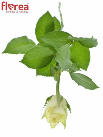 ROSA ATHENA 40cm (S)