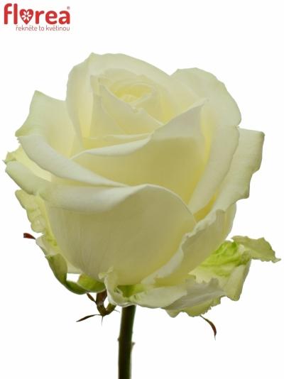 Bílá růže AVALANCHE+