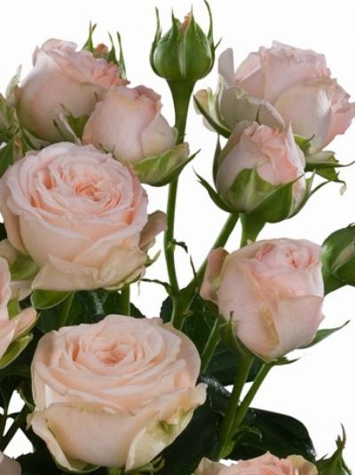 Bílá růže BOMBASTIC 50cm/1+ (S)