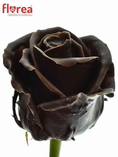 Bílá růže CHOCOLAT 60cm