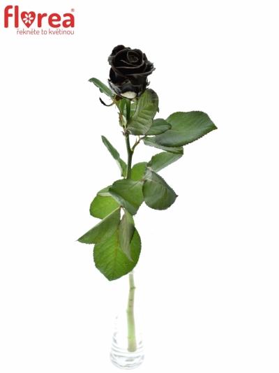 ROSA CHOCOLAT 60cm (R 264)