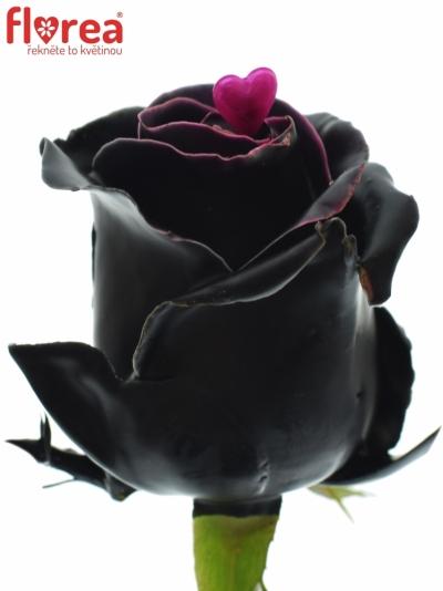 ROSA CHOCOLAT BLACK BEAUTY 60cm (L)