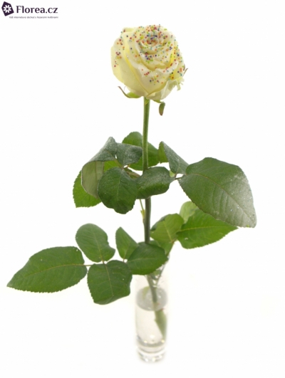 ROSA CHOCOLAT DISCO WHITE 60cm