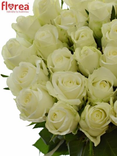 Bílá růže COUNTDOWN!