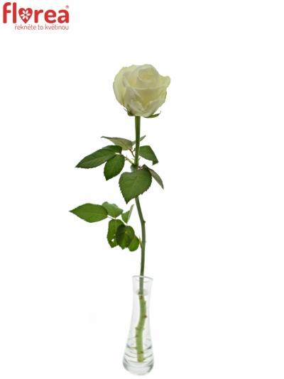 ROSA COUNTDOWN! 60cm (M)