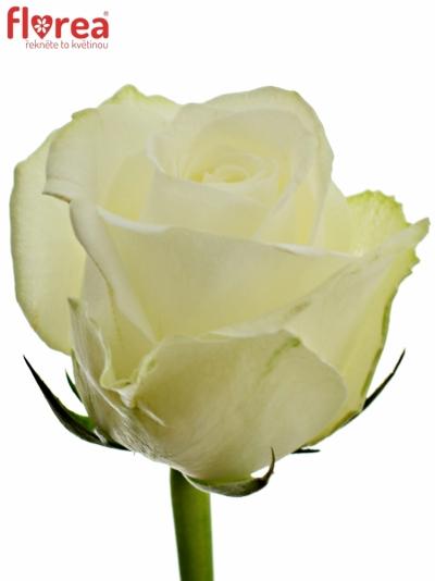 Bílá růže COUNTDOWN! 40cm (M)