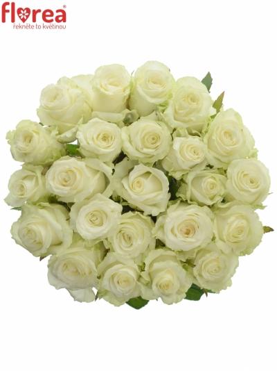 Bílá růže DOLOMITI 55cm