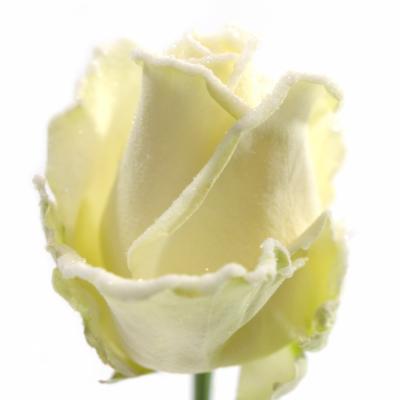 Bílá růže FROSTWAX DOLOMITI