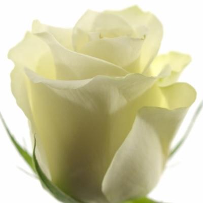 Bílá růže GLACIER