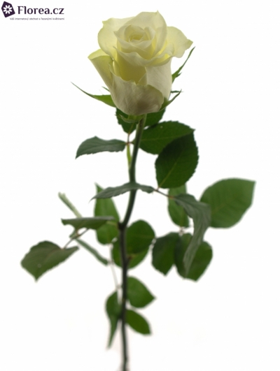 ROSA GLACIER+ 50cm