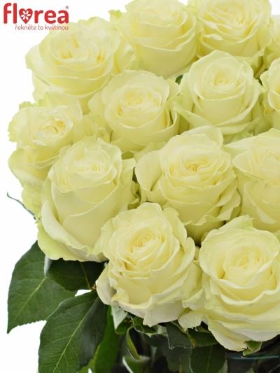 Bílá růže MONDIAL 50cm