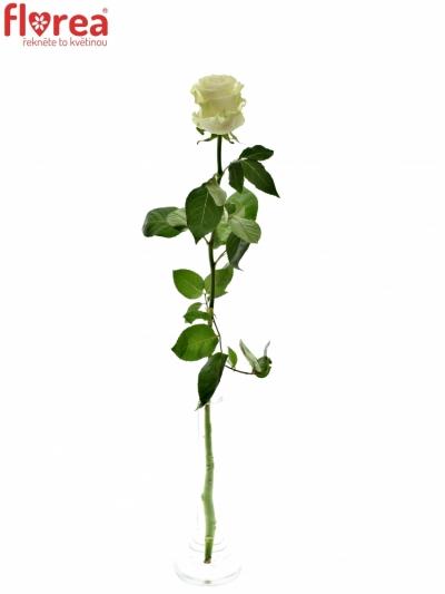 ROSA MONDIAL 80cm (XXL)