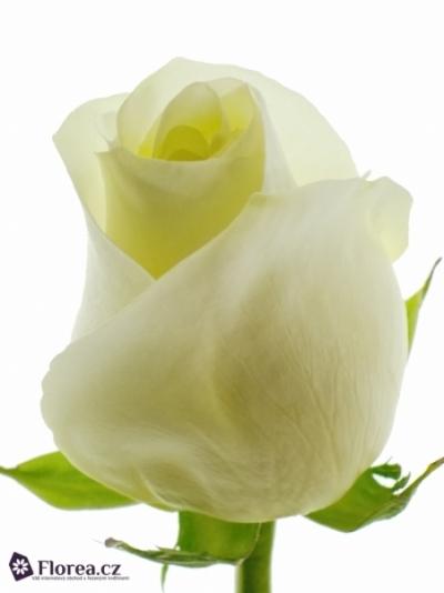 Bílá růže POLAR STAR 70cm