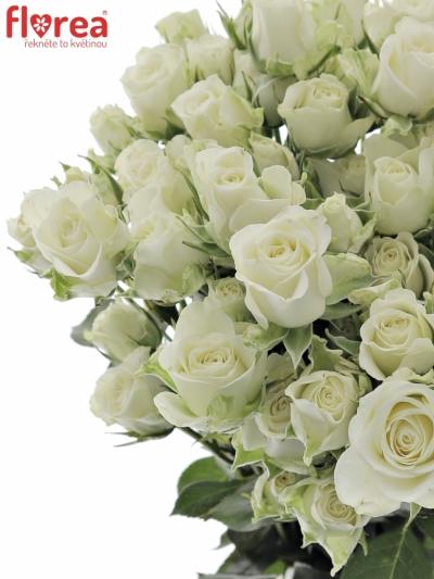 Bílá růže trsová SNOWFLAKE 50cm/5+