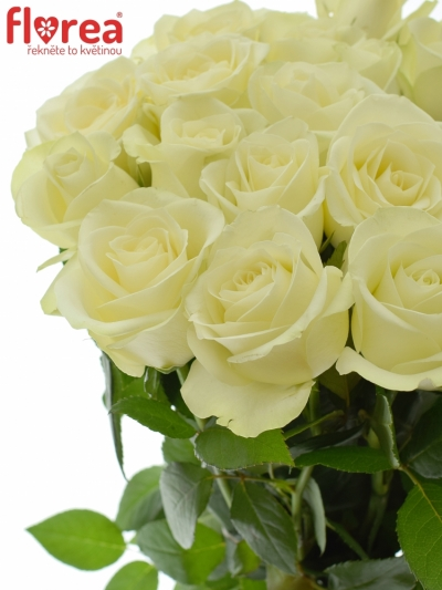 Bílá růže SNOWSTORM+ 60cm (M)