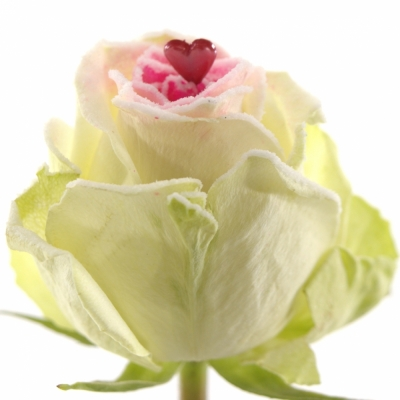 Bílá růže SUGAR LOVE 60cm (XXL)