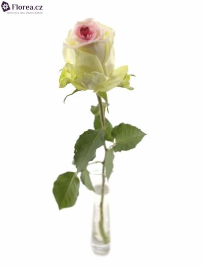 ROSA SUGAR LOVE 60cm (L)