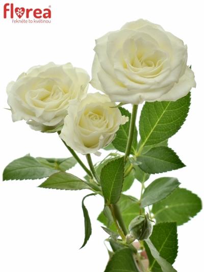 Bílá růže VIVIANE 50cm/4+