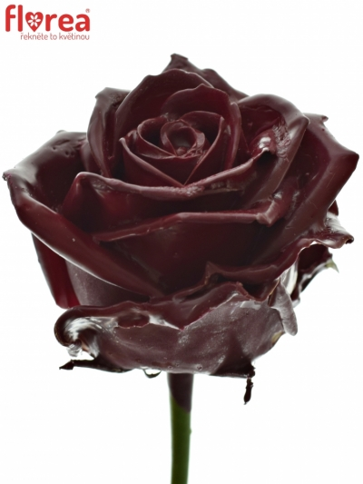 ROSA WAX DARK RED 60cm (L)