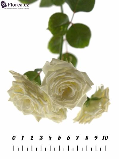 Bílá růže WHITE LADY