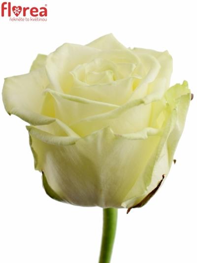 Bílá růže WHITE NAOMI!