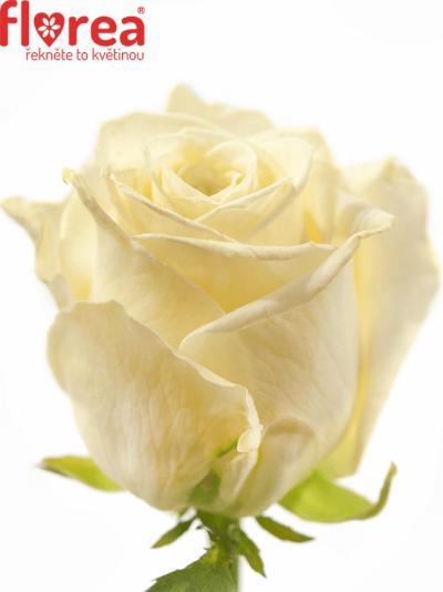 ROSA WHITE SODA+ 70cm (L)