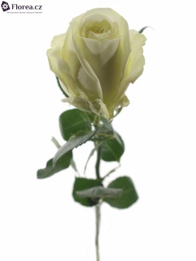 ROSA WHITEWASH 70cm