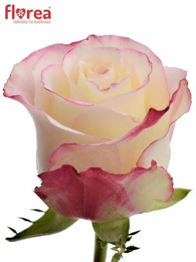 Bíločervená růže ADVANCE SWEETNESS 60cm