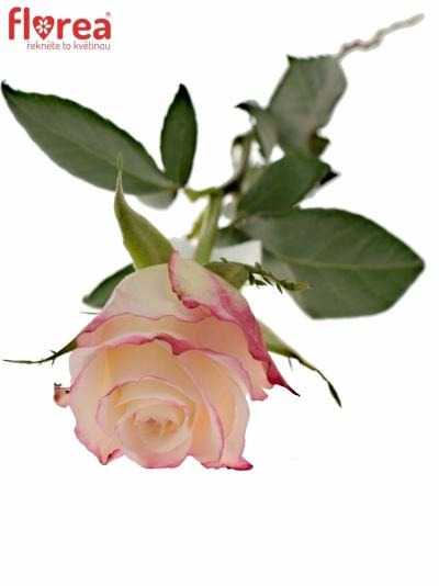 Bíločervená růže ADVANCE SWEETNESS