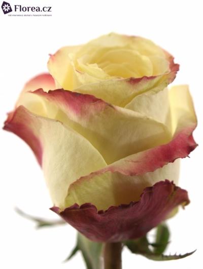 Bíločervená růže MAMAMIA