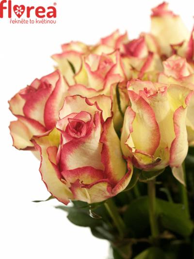 Bílorůžová růže MONET 70cm