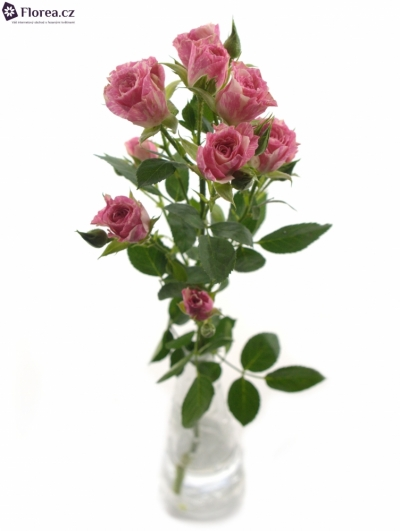 ROSA TR PINK FLASH 40cm/4+