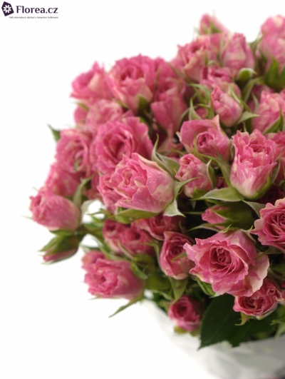 Krémovorůžová růže PINK FLASH