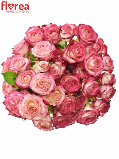 Bílorůžová růže SAFINA 50cm/4+