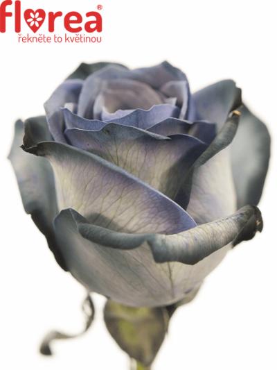 ROSA BLACK VENDELA 70cm - ČERNÁ RŮŽE (M)