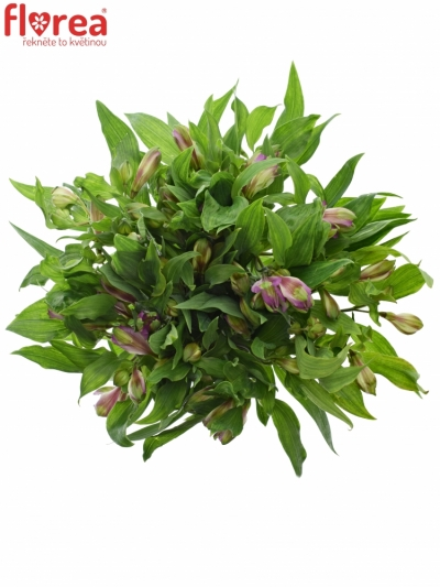 ALSTROEMERIA HAWAIIAN DREAM 70g