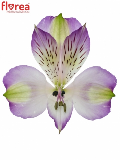 ALSTROEMERIA HAWAIIAN DREAM 75g
