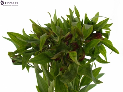 ALSTROEMERIA HOT PEPPER 85g