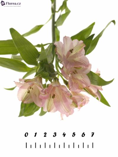 ALSTROEMERIA PRIMADONNA 66g