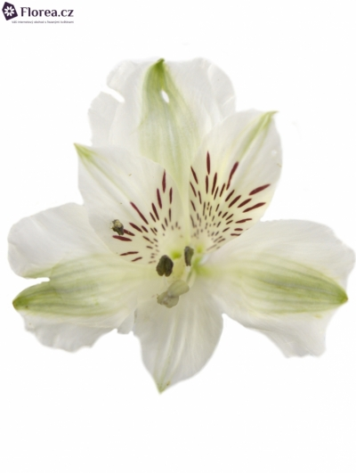 ALSTROEMERIA VIRGINIA 80g EX