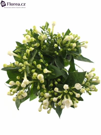 BOUVARDIA DIAMOND WHITE 40cm