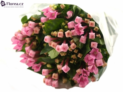 BOUVARDIA ROYAL DAPHNE FRESCO 40cm