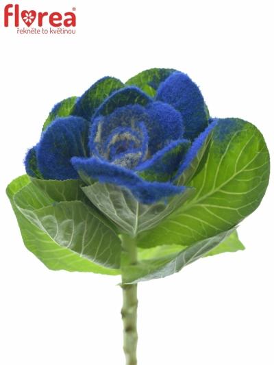 BRASSICA COLORED BLUE 60cm