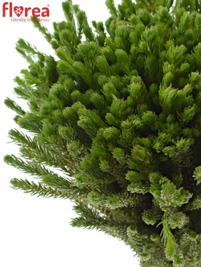 BRUNIA ALBIFLORA 40cm