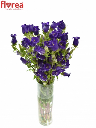 CAMPANULA MEDIUM CHAMPION BLUE 50cm