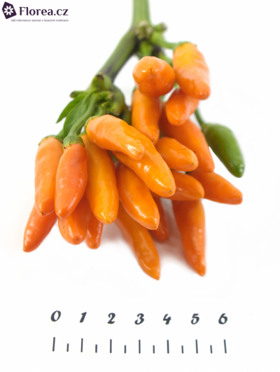 CAPSICUM ORANGE FIRE 40cm