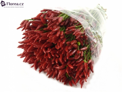 CAPSICUM RED FIRE 50cm
